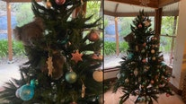 Family finds curious koala bear in Christmas tree