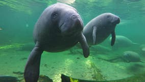Manatees are dying at an alarming rate in 2021, especially in Central Florida