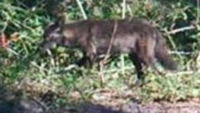 Black coyote spotted roaming in Central Florida
