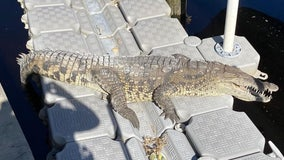 70-year-old crocodile spotted in Punta Gorda backyard
