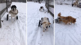Paraplegic rescue dogs have the time of their of lives playing in Minnesota snow