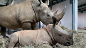 Disney's Animal Kingdom finally names baby rhino born in October