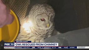 Owl rescued from chimney