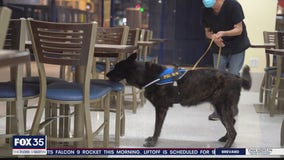 Dogs being trained to detect COVID-19