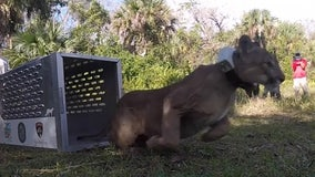 Rehabilitated Florida panther released back into the wild after being hit by car