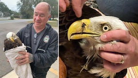 Bald eagle found in Pasco County with fishing hook in beak, wing wrapped in fishing line