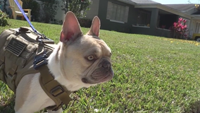 Central Florida French Bulldog owners concerned after Lady Gaga's dog thefts