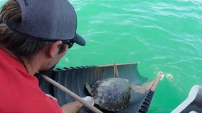 Coast Guard, rescue organizations release sea turtles back into Gulf of Mexico after Texas winter storm