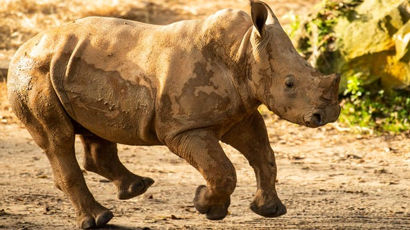 Ranger the rhino calf joins herd at Disney's Animal Kingdom