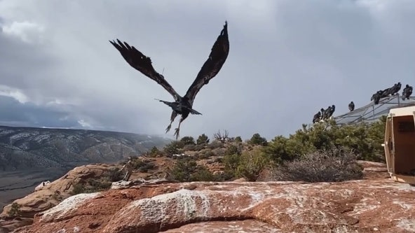 Condor released back into wild after lead poisoning treatment in Utah