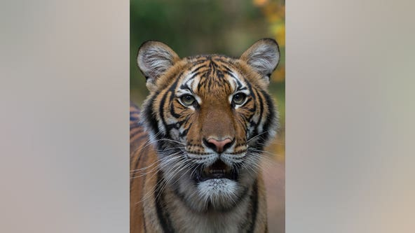 Elsa the tiger rescued during Texas winter storm, gets new home