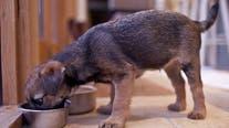 Dog food recalled over salmonella, listeria concerns: FDA