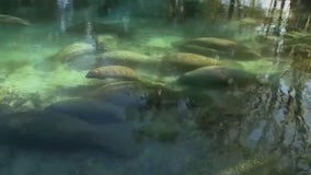 Federal government now investigating alarming rate of manatee deaths in Florida