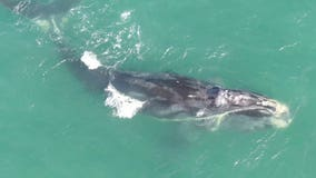 Endangered right whale found dead off South Carolina coast