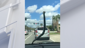 'Dude, I just need you to exit the car, please!': Snake hitches ride, terrifies woman