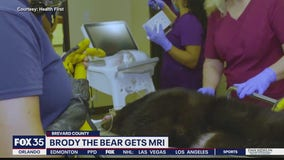 Brody the Bear undergoes MRI