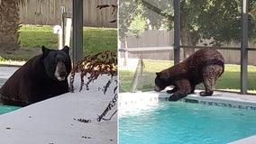 Black bear rips porch screen, takes a dip in Florida pool