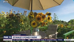 Beautiful sunflowers! David Martin visits Stanley Pond Farm in Lake County