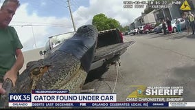 Alligator found under car