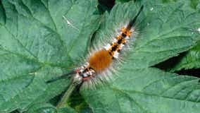 Florida officials warn of caterpillars that leave stinging rashes