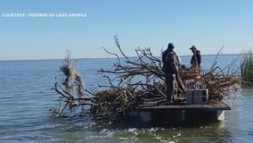 Old citrus trees anchored to the bottom of Lake Apopka to attract fish