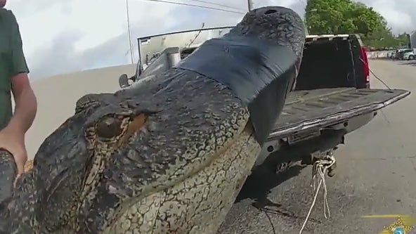 What to know as gator mating season nears