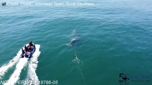 Marine experts searching for entangled baby whale spotted on drone video