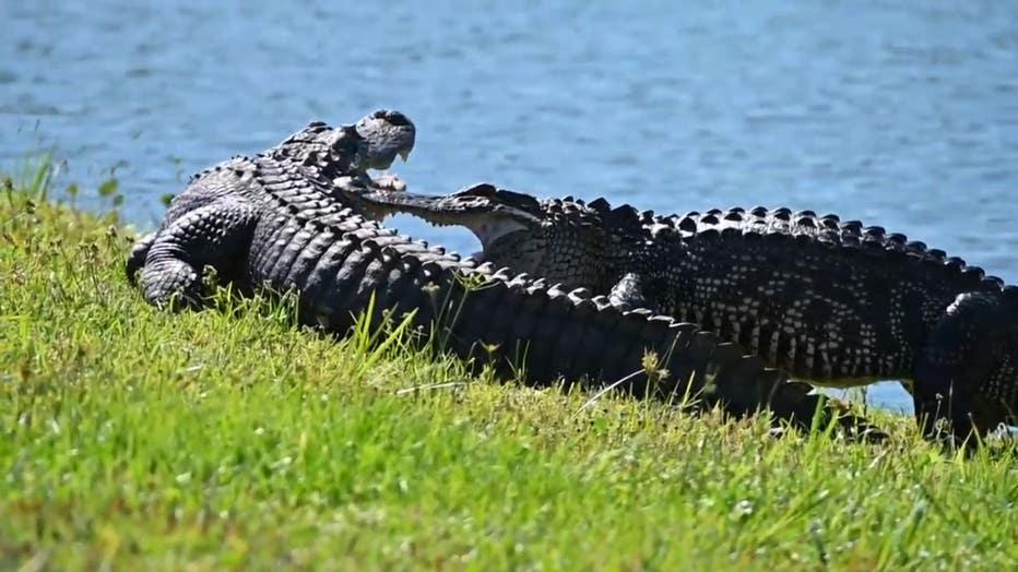 gator-wrestling-lakewood-ranch-2.jpg