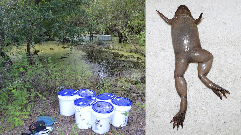 tropical clawed frog