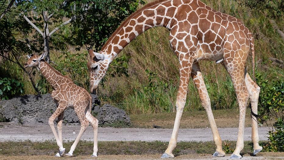 zoo-miami-baby-giraffe-ron-magill-2.jpg