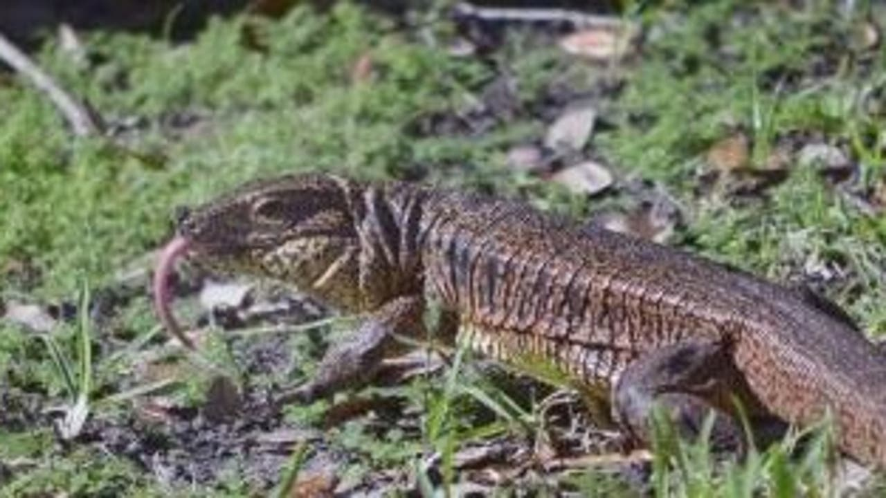 Lizard known to attack dogs, cats on the loose in Central Florida neighborhood