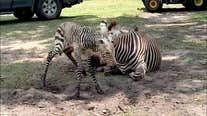It's a boy! Baby zebra born at Disney's Animal Kingdom