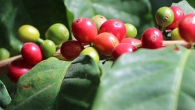 Climate change could soon allow Florida farmers to grow coffee beans, UF scientists say
