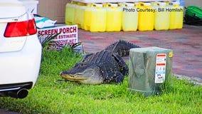 Florida deputies keep close watch over wayward alligator