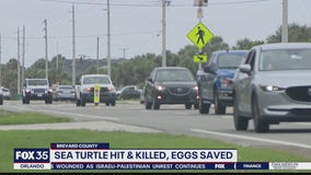 400-pound loggerhead turtle killed on Florida roadway