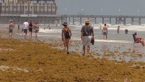 Winds, heavy surf push massive amounts of seaweed onto Central Florida beaches