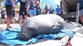 SeaWorld Orlando releases Chessie the manatee back into the wild