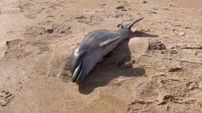 Baby dolphin washes ashore at Central Florida beach, officials say