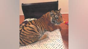 'It's Victor's tiger,' HPD says wild animal belongs to man whose attorney denied ownership