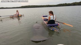 Friendly manatee surprises 2 women in canoes at Fort DeSoto Park