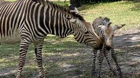 It's a boy! Baby zebra born at Disney's Animal Kingdom