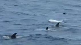 Rare white dolphin spotted swimming with pod off California coast