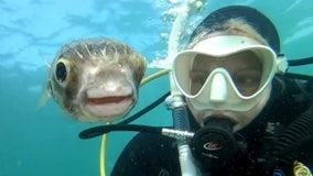 Diver takes adorable 'selfie' with pufferfish off Australian coast