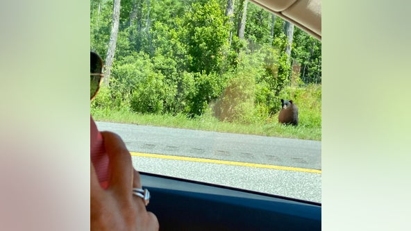 Bear spotted in grassy median along Interstate 4 in Volusia County