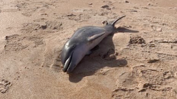 Baby dolphin washes ashore at Central Florida beach, officials say