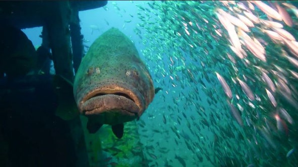 Florida takes step toward allowing catching of goliath grouper