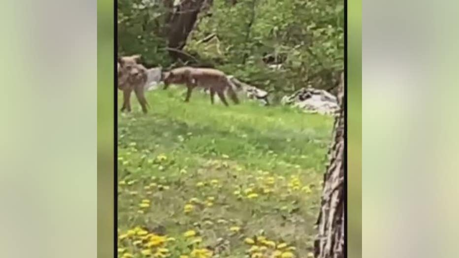 coyotes in Detroit