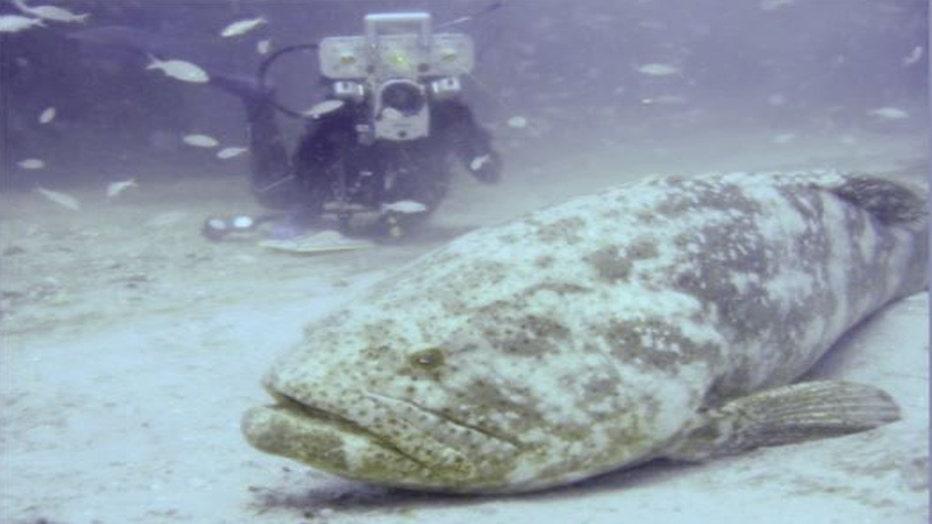 goliath-grouper4-resized.jpg