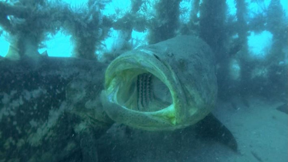 grouper-fwc1-resized.jpg