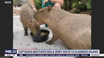Wild Wednesday: Capybara brothers move to Flamingo Island